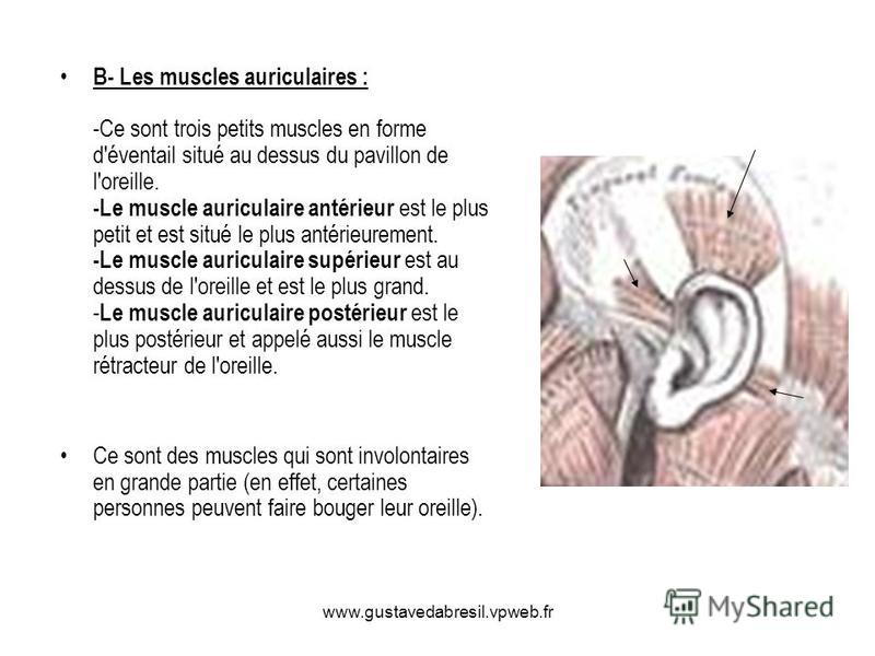 www.gustavedabresil.vpweb.fr B- Les muscles auriculaires : -Ce sont trois petits muscles en forme d'éventail situé au dessus du pavillon de l'oreille. -Le muscle auriculaire antérieur est le plus petit et est situé le plus antérieurement. -Le muscle