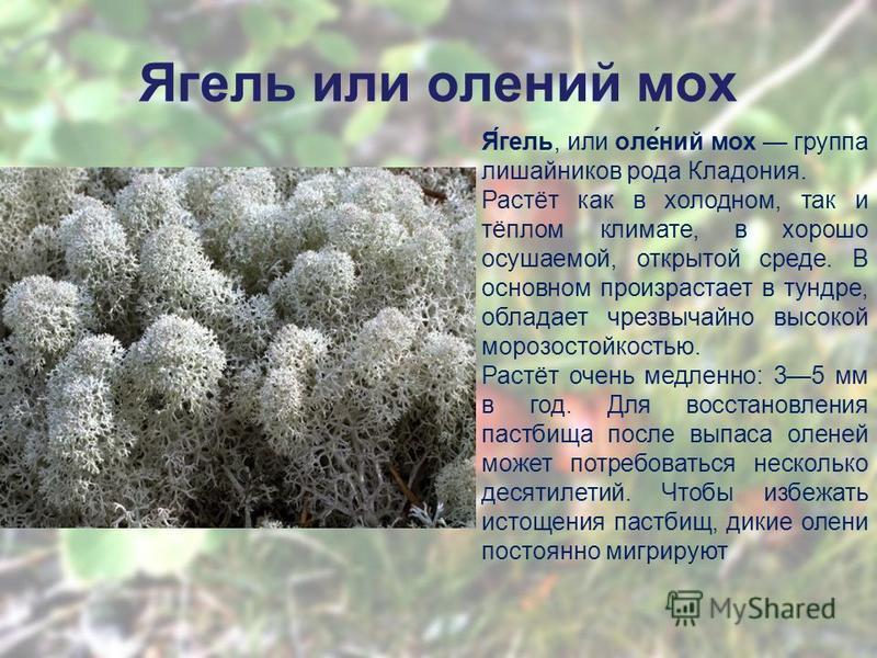 Ягель или олении мох Я́гель, или оле́нии мох группа лишайников рода Кладония. Растёт как в холодном, так и тёплом климате, в хорошо осушаемой, открытой среде. В основном произрастает в тундре, обладает чрезвычайно высокой морозостойкостью. Растёт оче