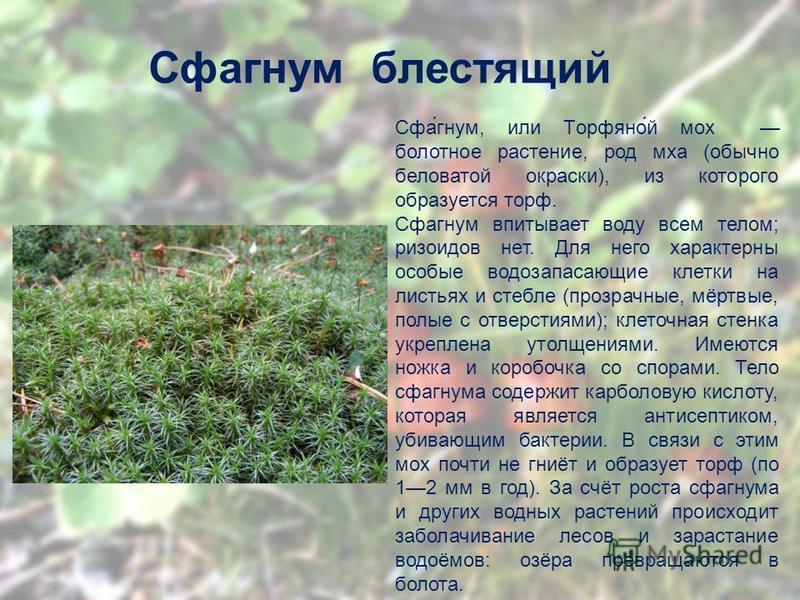 Сфагном блестящий Сфа́гном, или Торфяно́й мох болотное растение, род мха (обычно беловатой окраски), из которого образуется торф. Сфагном впитывает воду всем телом; ризоидов нет. Для него характерны особые водозапасающие клетки на листьях и стебле (п