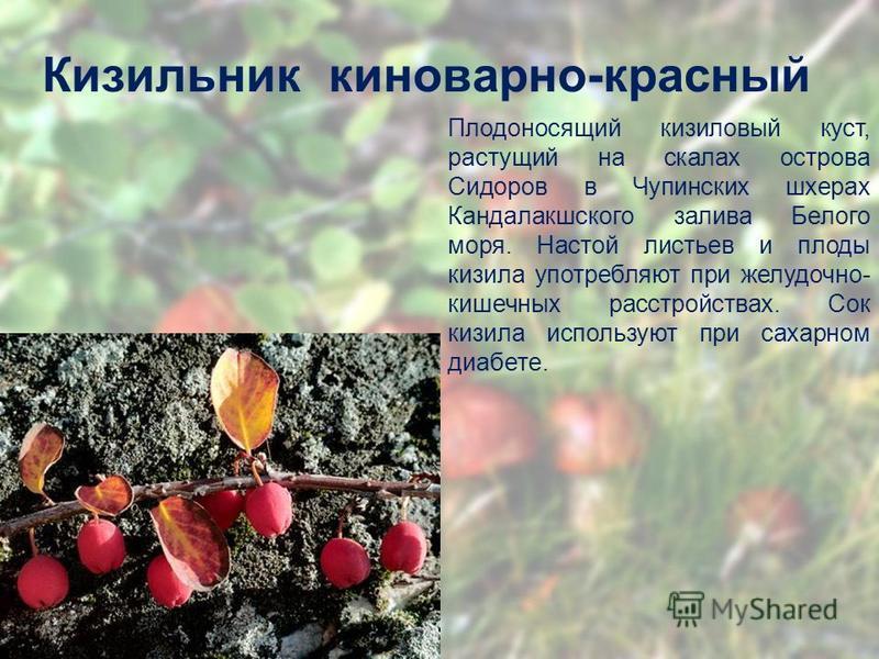 Кизильник киноварно-красный Плодоносящий кизиловый куст, растущий на скалах острова Сидоров в Чупинских шхерах Кандалакшского залива Белого моря. Настой листьев и плоды кизила употребляют при желудочно- кишечных расстройствах. Сок кизила используют п
