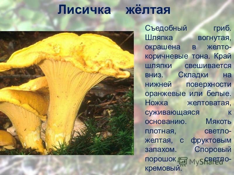 Лисичка жёлтая Съедобный гриб. Шляпка вогнутая, окрашена в желто- коричневые тона. Край шляпки свешивается вниз. Складки на нижней поверхности оранжевые или белые. Ножка желтоватая, суживающаяся к основанию. Мякоть плотная, светло- желтая, с фруктовы