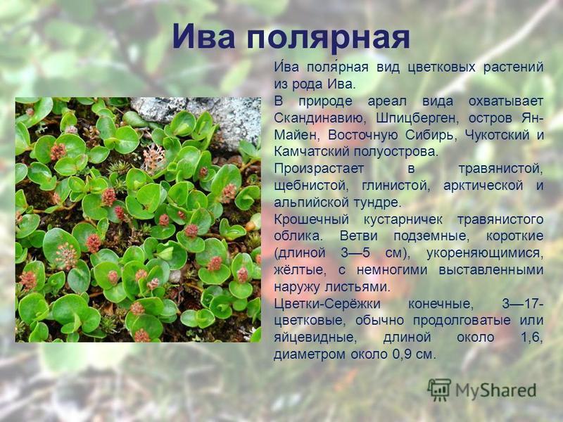 Ива полярная И́ва поля́рная вид цветковых растении из рода Ива. В природе ареал вида охватывает Скандинавию, Шпицберген, остров Ян- Майен, Восточную Сибирь, Чукотский и Камчатский полуострова. Произрастает в травянистой, щебнистой, глинистой, арктиче