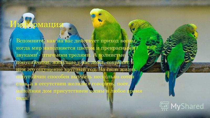 Информация Вспомните, как на вас действует приход весны, когда мир наполняется цветом и прекрасными звуками - птичьими трелями. А волнистые попугайчики, живущие у вас дома, сохранят в нём это ощущение круглый год. За свою жизнь попугайчик способен вы