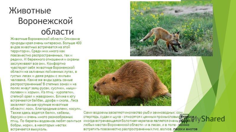 Воронежская область находится на границе степной и лесостепной зон. Природа этого края богата и разнообразна. Несколько крупных рек, большое количество лесов и живописные луга обеспечивают прекрасные условия для жизни самых разнообразных животных. За