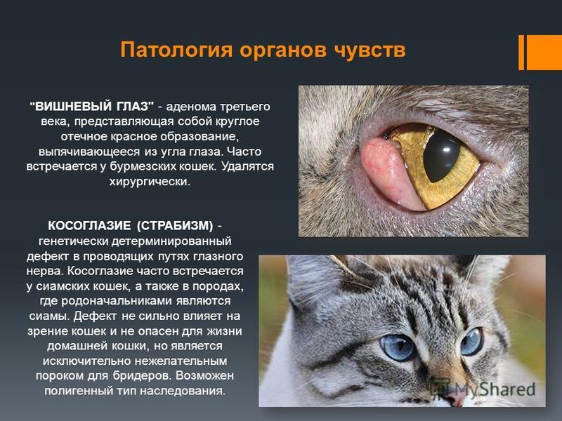 Патология органов чувств КОСОГЛАЗИЕ (СТРАБИЗМ) - генетически детерминированный дефект в проводящих путях глазного нерва. Косоглазие часто встречается у сиамских кошек, а также в породах, где родоначальниками являются сиамы. Дефект не сильно влияет на