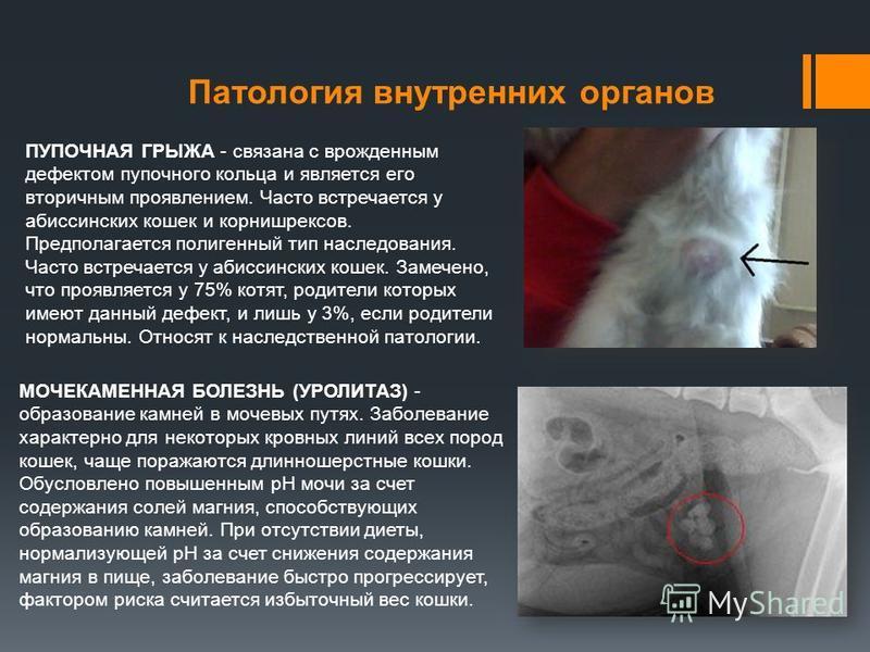 Патология внутренних органов ПУПОЧНАЯ ГРЫЖА - связана с врожденным дефектом пупочного кольца и является его вторичным проявлением. Часто встречается у абиссинских кошек и корнишрексов. Предполагается полигенный тип наследования. Часто встречается у а
