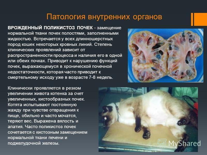 Патология внутренних органов ВРОЖДЕННЫЙ ПОЛИКИСТОЗ ПОЧЕК - замещение нормальной ткани почек полостями, заполненными жидкостью. Встречается у всех длинношерстных пород кошек некоторых кровных линий. Степень клинических проявлений зависит от распростра