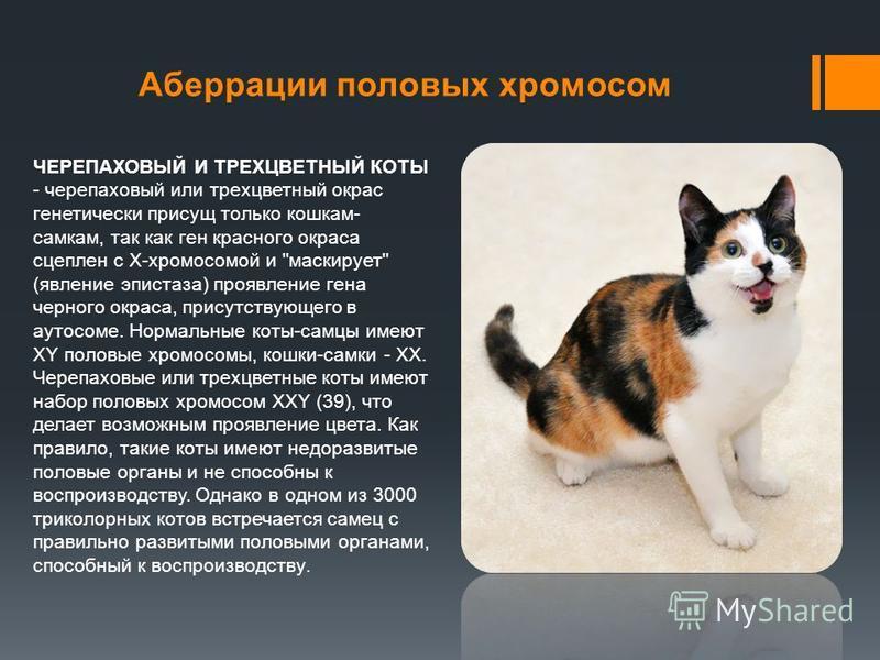 Аберрации половых хромосом ЧЕРЕПАХОВЫЙ И ТРЕХЦВЕТНЫЙ КОТЫ - черепаховый или трехцветный окрас генетически присущ только кошкам- самкам, так как ген красного окраса сцеплен с Х-хромосомой и