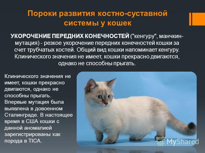 Пороки развития костно-суставной системы у кошек Клинического значения не имеет, кошки прекрасно двигаются, однако не способны прыгать. Впервые мутация была выявлена в довоенном Сталинграде. В настоящее время в США кошки с данной аномалией зарегистри