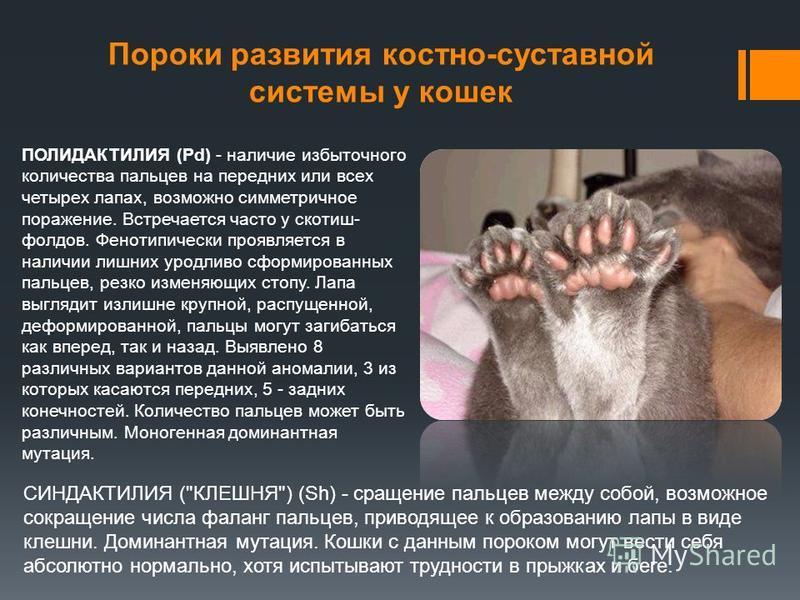 ПОЛИДАКТИЛИЯ (Pd) - наличие избыточного количества пальцев на передних или всех четырех лапах, возможно симметричное поражение. Встречается часто у скотиш- фордов. Фенотипически проявляется в наличии лишних уродливо сформированных пальцев, резко изме