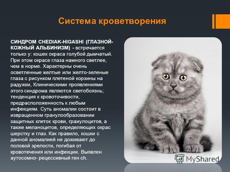Система кроветворения СИНДРОМ CHEDIAK-HIGASHI (ГЛАЗНОЙ- КОЖНЫЙ АЛЬБИНИЗМ) - встречается только у: кошек окраса голубой дымчатый. При этом окрасе глаза намного светлее, чем в норме. Характерны очень осветленные желтые или желто-зеленые глаза с рисунко