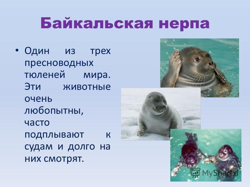 Байкальская нерпа Один из трех пресноводных тюленей мира. Эти животные очень любопытны, часто подплывают к судам и долго на них смотрят.
