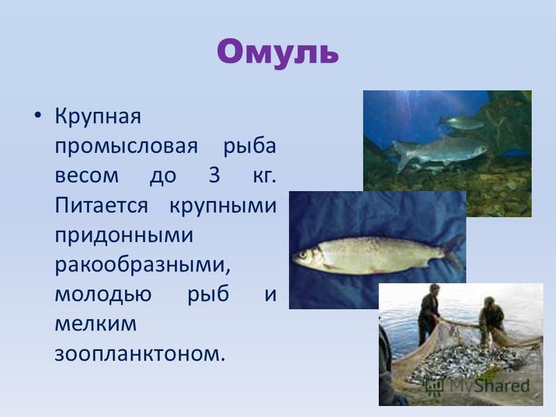 Омуль Крупная промысловая рыба весом до 3 кг. Питается крупными придонными ракообразными, молодью рыб и мелким зоопланктоном.