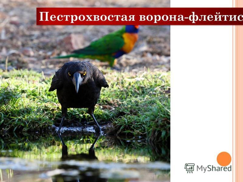 Пестрохвостая ворона-флейтист