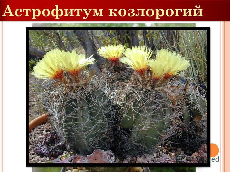 Астрофитум козлоногий