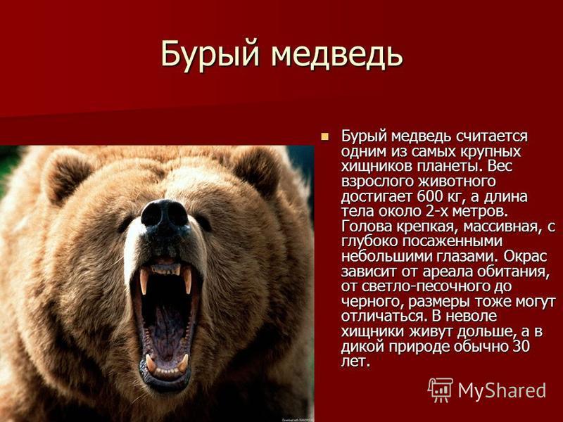 Бурый медведь Бурый медведь считается одним из самых крупных хищников планеты. Вес взрослого животного достигает 600 кг, а длина тела около 2-х метров. Голова крепкая, массивная, с глубоко посаженными небольшими глазами. Окрас зависит от ареала обита
