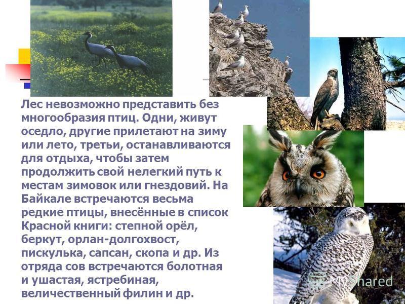 Лес невозможно представить без многообразия птиц. Одни, живут оседло, другие прилетают на зиму или лето, третьи, останавливаются для отдыха, чтобы затем продолжить свой нелегкий путь к местам зимовок или гнездовий. На Байкале встречаются весьма редки