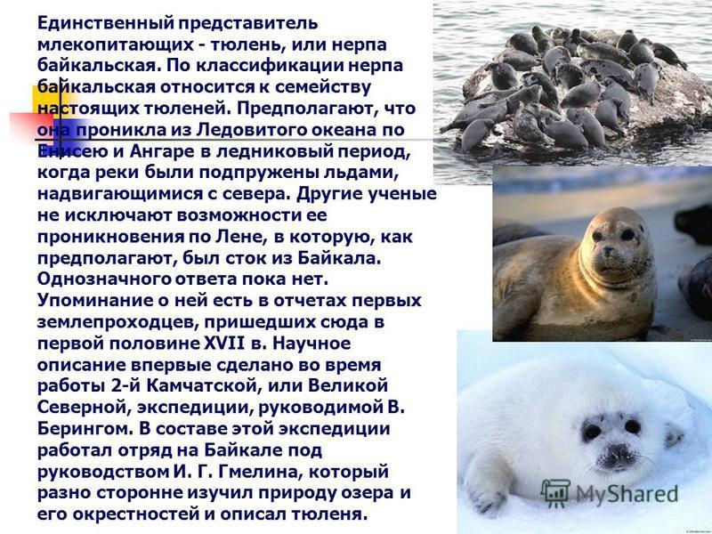 Единственный представитель млекопитающих - тюлень, или нерпа байкальская. По классификации нерпа байкальская относится к семейству настоящих тюленей. Предполагают, что она проникла из Ледовитого океана по Енисею и Ангаре в ледниковый период, когда ре