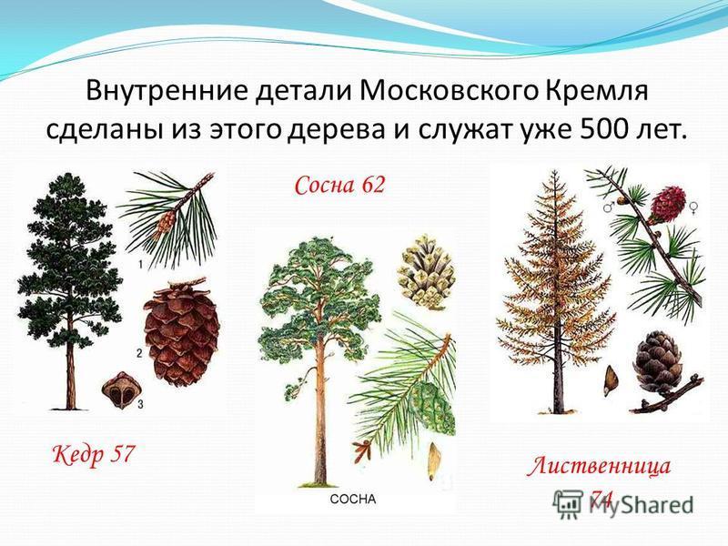 Внутренние детали Московского Кремля сделаны из этого дерева и служат уже 500 лет. Лиственница 74 Кедр 57 Сосна 62