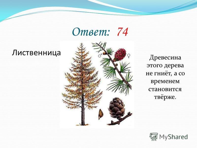 Ответ: 74 Лиственница Древесина этого дерева не гниёт, а со временем становится твёрже.