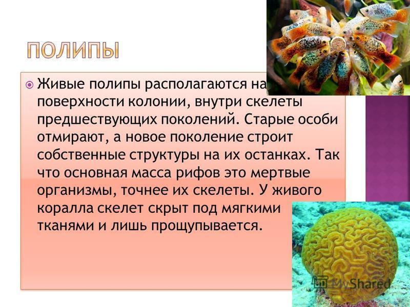 Живые полипы располагаются на поверхности колонии, внутри скелеты предшествующих поколений. Старые особи отмирают, а новое поколение строит собственные структуры на их останках. Так что основная масса рифов это мертвые организмы, точнее их скелеты. У