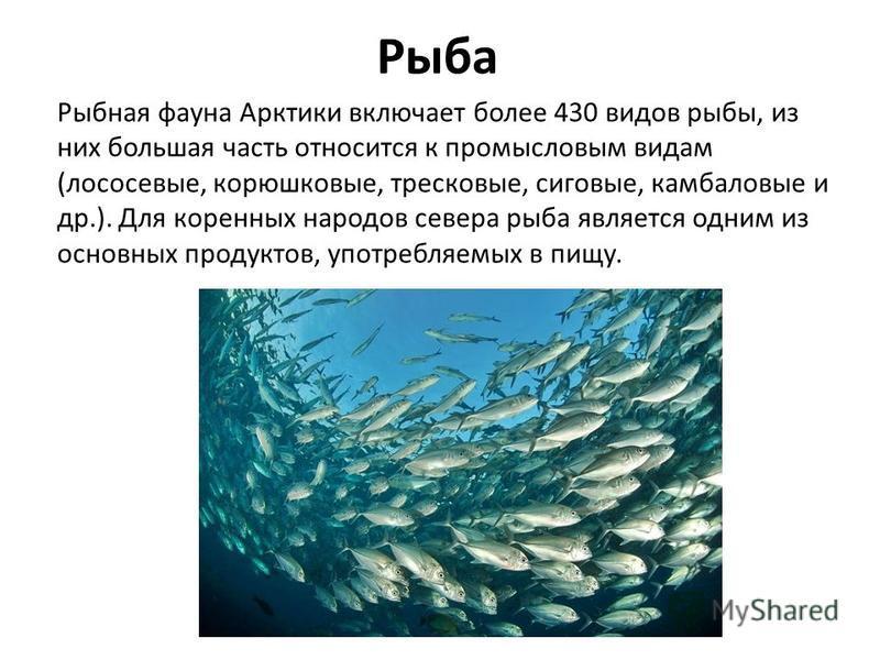 Рыба Рыбная фауна Арктики включает более 430 видов рыбы, из них большая часть относится к промысловым видам (лососевые, корюшковые, тресковые, сиговые, камбаловые и др.). Для коренных народов севера рыба является одним из основных продуктов, употребл