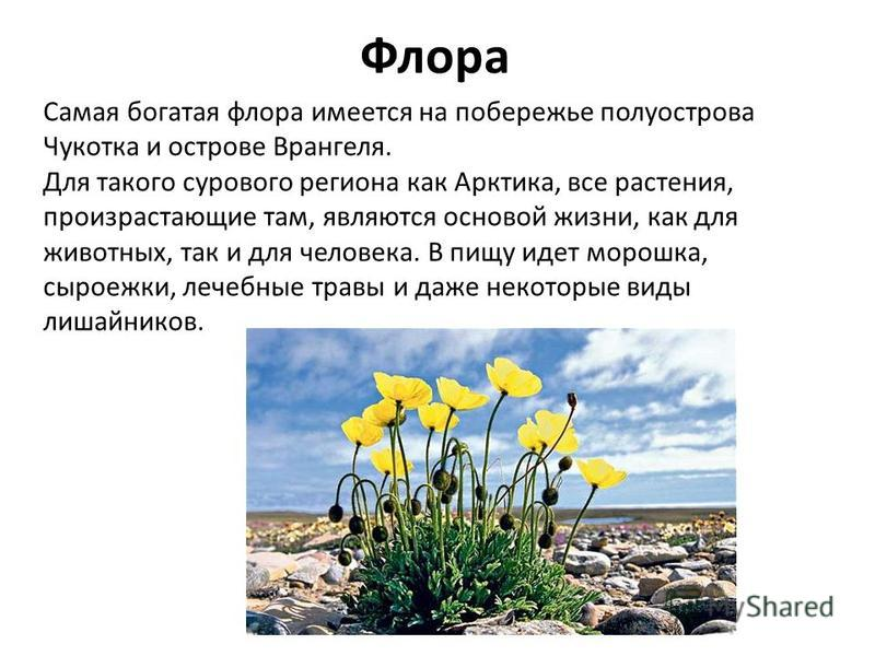Флора Самая богатая флора имеется на побережье полуострова Чукотка и острове Врангеля. Для такого сурового региона как Арктика, все растения, произрастающие там, являются основой жизни, как для животных, так и для человека. В пищу идет морошка, сырое