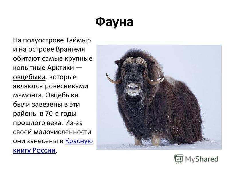 Фауна На полуострове Таймыр и на острове Врангеля обитают самые крупные копытные Арктики овцебыки, которые являются ровесниками мамонта. Овцебыки были завезены в эти районы в 70-е годы прошлого века. Из-за своей малочисленности они занесены в Красную