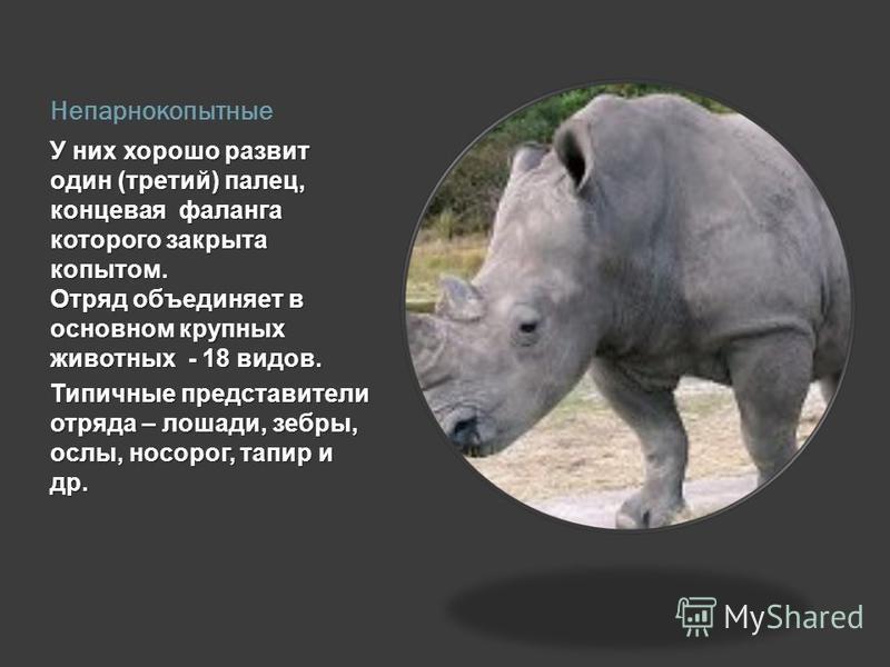 Непарнокопытные У них хорошо развит один (третий) палец, концевая фаланга которого закрыта копытом. Отряд объединяет в основном крупных животных - 18 видов. Типичные представители отряда – лошади, зебры, ослы, носорог, тапир и др.