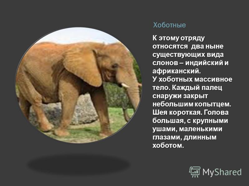 Хоботные К этому отряду относятся два ныне существующих вида слонов – индийский и африканский. У хоботных массивное тело. Каждый палец снаружи закрыт небольшим копытцем. Шея короткая. Голова большая, с крупными ушами, маленькими глазами, длинным хобо