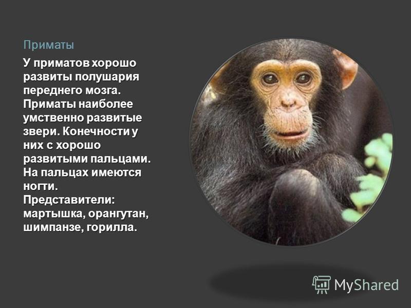 Приматы У приматов хорошо развиты полушария переднего мозга. Приматы наиболее умственно развитые звери. Конечности у них с хорошо развитыми пальцами. На пальцах имеются ногти. Представители: мартышка, орангутан, шимпанзе, горилла.