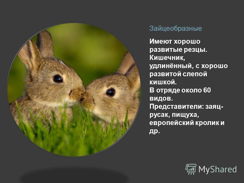 Зайцеобразные Имеют хорошо развитые резцы. Кишечник, удлинённый, с хорошо развитой слепой кишкой. В отряде около 60 видов. Представители: заяц- русак, пищуха, европейский кролик и др.