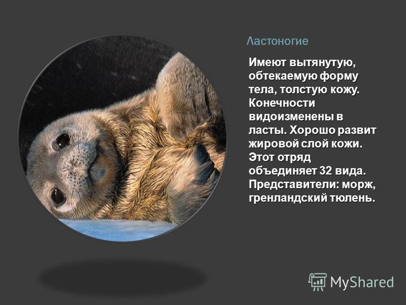 Ластоногие Имеют вытянутую, обтекаемую форму тела, толстую кожу. Конечности видоизменены в ласты. Хорошо развит жировой слой кожи. Этот отряд объединяет 32 вида. Представители: морж, гренландский тюлень.