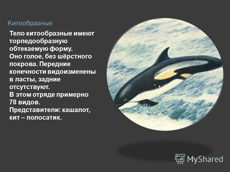 Китообразные Тело китообразные имеют торпедообразную обтекаемую форму. Оно голое, без шёрстного покрова. Передние конечности видоизменены в ласты, задние отсутствуют. В этом отряде примерно 78 видов. Представители: кашалот, кит – полосатик.