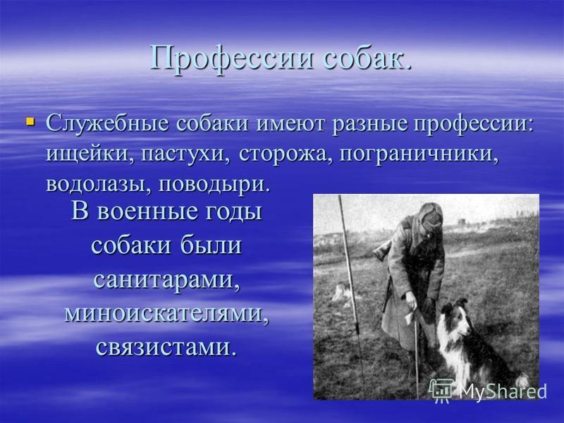 Профессии собак. Служебные собаки имеют разные профессии: ищейки, пастухи, сторожа, пограничники, водолазы, поводыри. Служебные собаки имеют разные профессии: ищейки, пастухи, сторожа, пограничники, водолазы, поводыри. В военные годы собаки были сани