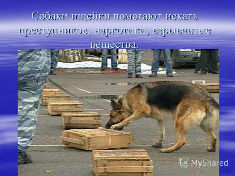 Собаки ищейки помогают искать преступников, наркотики, взрывчатые вещества.