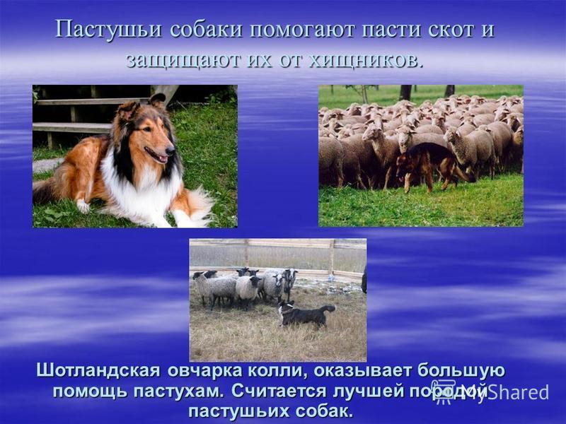 Пастушьи собаки помогают пасти скот и защищают их от хищников. Шотландская овчарка колли, оказывает большую помощь пастухам. Считается лучшей породой пастушьих собак.