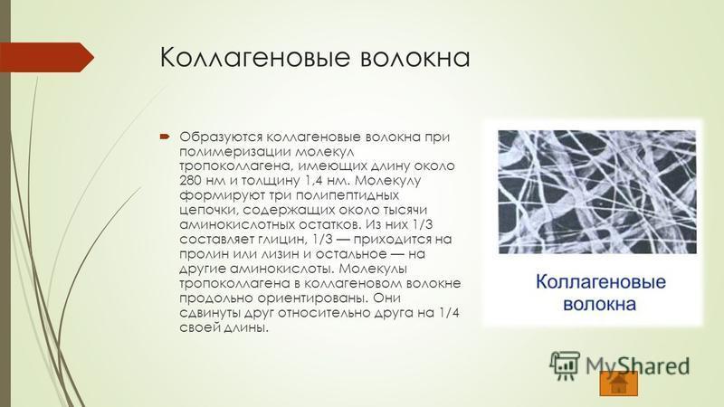 Коллагеновые волокна Образуются коллагеновые волокна при полимеризации молекул тропоколлагена, имеющих длину около 280 нм и толщину 1,4 нм. Молекулу формируют три полипептидных цепочки, содержащих около тысячи аминокислотных остатков. Из них 1/3 сост