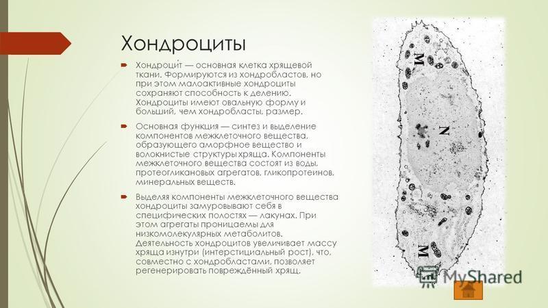 Хондроциты Хондроцит основная клетка хрящевой ткани. Формируются из хондробластов, но при этом малоактивные хондроциты сохраняют способность к делению. Хондроциты имеют овальную форму и больший, чем хондробласты, размер. Основная функция синтез и выд