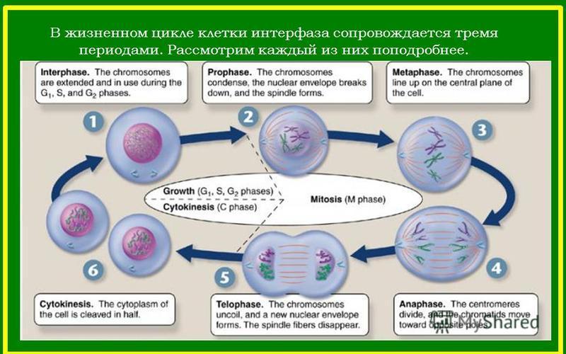 В жизненном цикле клетки интерфаза сопровождается тремя периодами. Рассмотрим каждый из них поподробнее.