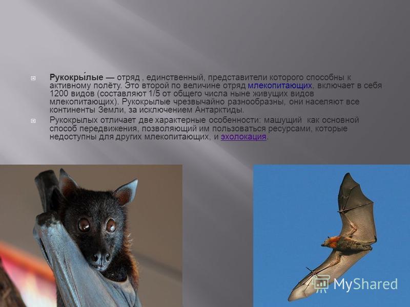 Рукокры́алые отряд, единственный, представители которого способны к активному полёту. Это второй по величине отряд млекопитающих, включает в себя 1200 видов (составляют 1/5 от общего числа ныне живущих видов млекопитающих). Рукокрыалые чрезвычайно ра