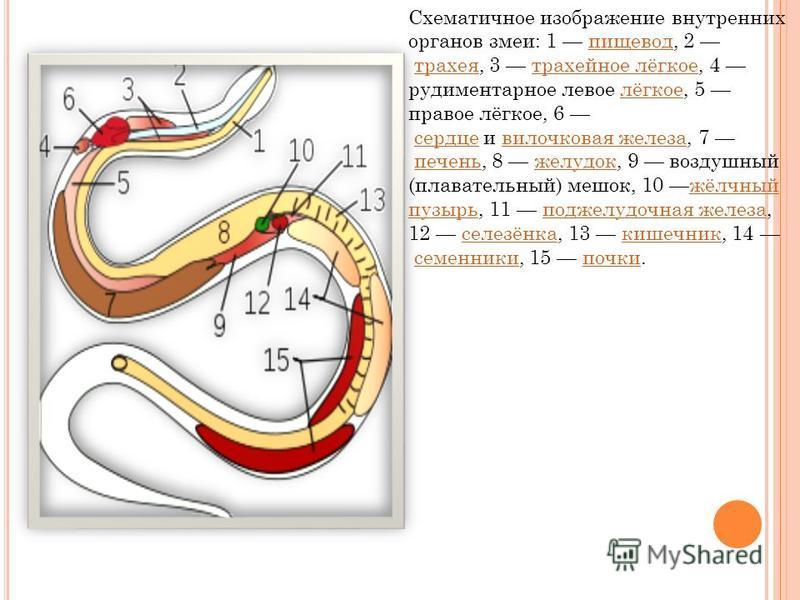 Схематичное изображение внутренних органов змеи: 1 пищевод, 2 трахея, 3 трахейное лёгкое, 4 рудиментарное левое лёгкое, 5 правое лёгкое, 6 сердце и вилочковая железа, 7 печень, 8 желудок, 9 воздушный (плавательный) мешок, 10 жёлчный пузырь, 11 поджел