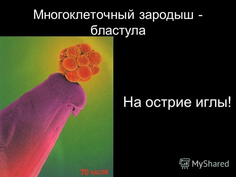 Многоклеточный зародыш - бластула На острие иглы!