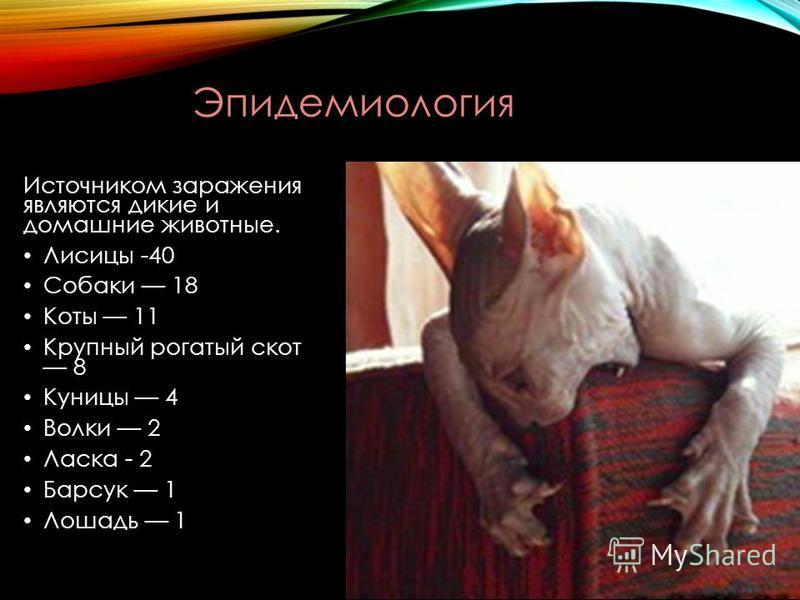 Источником заражения являются дикие и домашние животные. Лисицы -40 Собаки 18 Коты 11 Крупный рогатый скот 8 Куницы 4 Волки 2 Ласка - 2 Барсук 1 Лошадь 1 Эпидемиология