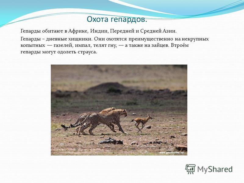Охота гепардов. Гепарды обитают в Африке, Индии, Передней и Средней Азии. Гепарды – дневные хищники. Они охотятся преимущественно на некрупных копытных газелей, импал, телят гну, а также на зайцев. Втроём гепарды могут одолеть страуса.