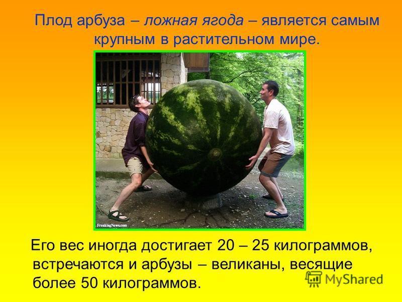 Его вес иногда достигает 20 – 25 килограммов, встречаются и арбузы – великаны, весящие более 50 килограммов. Плод арбуза – ложная ягода – является самым крупным в растительном мире.