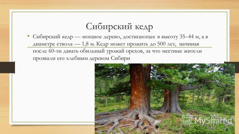 Сибирский кедр Сибирский кедр мощное дерево, достигающее в высоту 35–44 м, а в диаметре ствола 1,8 м. Кедр может прожить до 500 лет, начиная после 60-ти давать обильный урожай орехов, за что местные жители прозвали его хлебным деревом Сибири