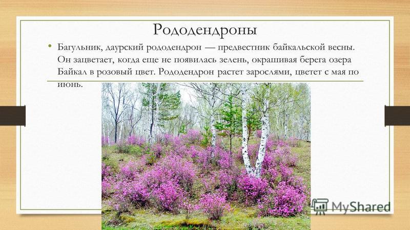 Рододендроны Багульник, даурский рододендрон предвестник байкальской весны. Он зацветает, когда еще не появилась зелень, окрашивая берега озера Байкал в розовый цвет. Рододендрон растет зарослями, цветет с мая по июнь.