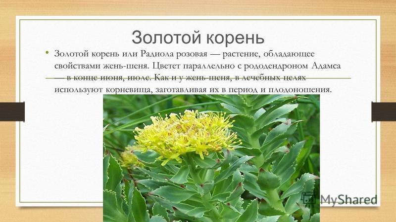 Золотой корень Золотой корень или Радиола розовая растение, обладающее свойствами жень-шеня. Цветет параллельно с рододендроном Адамса в конце июня, июле. Как и у жень-шеня, в лечебных целях используют корневища, заготавливая их в период и плодоношен