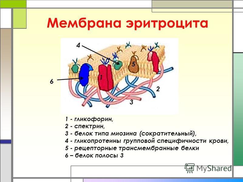 Мембрана эритроцита 1 - гликофорин, 2 - спектрин, 3 - белок типа миозина (сократительный), 4 - гликопротеины групповой специфичности крови, 5 - рецепторные трансмембранные белки 6 – белок полосы 3 2 1 3 4 5 6